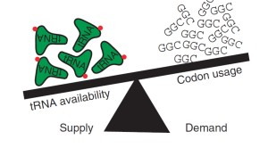 codon translation efficeincy depends on tRNA supply and demand